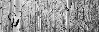 https://imgc.artprintimages.com/img/print/aspen-trees-in-a-forest_u-l-q12qdrm0.jpg?p=0