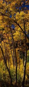 Aspen Trees in Autumn, Colorado, USA
