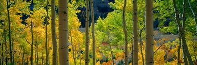 Aspen Trees in Autumn, Colorado, USA