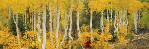 Aspen Trees in Autumn, Dixie National Forest, Utah, USA