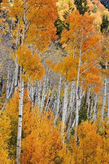 Aspen trees in autumn. Fishlake National Forest, Utah, USA-Scott T^ Smith-Photographic Print