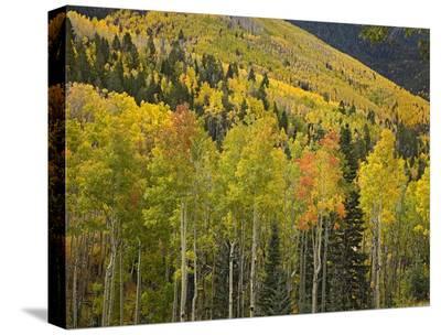 Aspen trees in autumn, Santa Fe National Forest near Santa Fe, New Mexico-Tim Fitzharris-Stretched Canvas Print