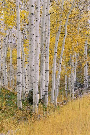 Aspen Trees in Autumn with White Bark and Yellow Leaves. Yellow Grasses of the Understorey. Wasatch-Mint Images - David Schultz-Photographic Print