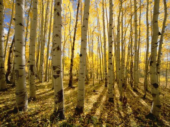 Aspen Trees in Autumn-John Eastcott & Yva Momatiuk-Photographic Print