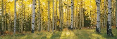 Aspen Trees in Coconino National Forest, Arizona, USA--Photographic Print