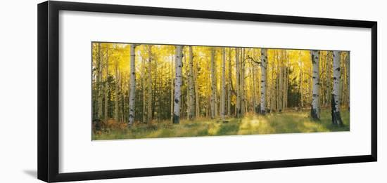 Aspen Trees in Coconino National Forest, Arizona, USA--Framed Photographic Print