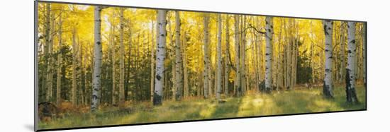 Aspen Trees in Coconino National Forest, Arizona, USA--Mounted Photographic Print