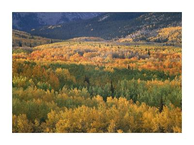 Aspen trees in fall colors, Gunnison National Forest, Colorado-Tim Fitzharris-Art Print