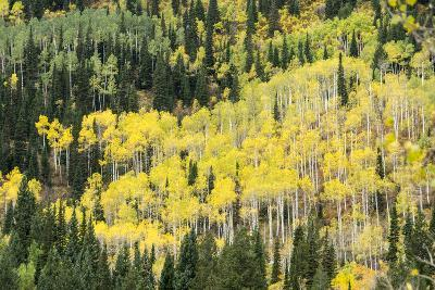 Aspen Trees in the Fall-Howie Garber-Photographic Print