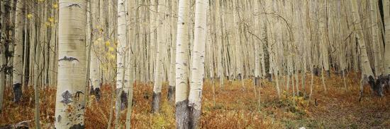 Aspen Trees in the Forest, Aspen, Colorado, USA--Photographic Print