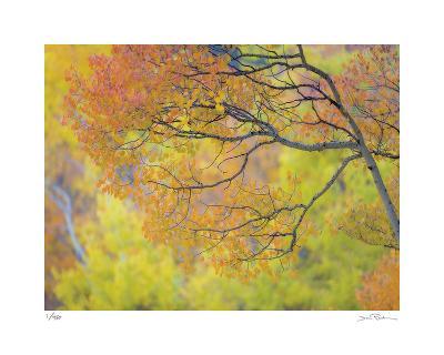 Aspen Trees IV-Donald Paulson-Giclee Print