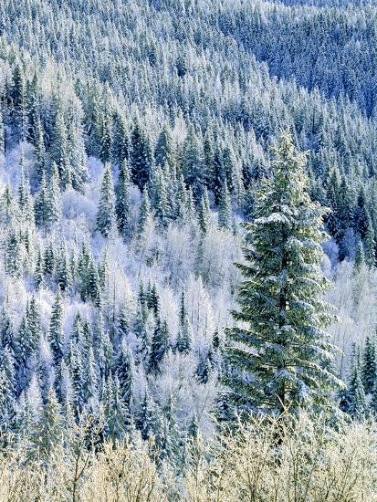 Aspen Trees, Mt Spokane State Park, Washington, USA-Charles Gurche-Photographic Print