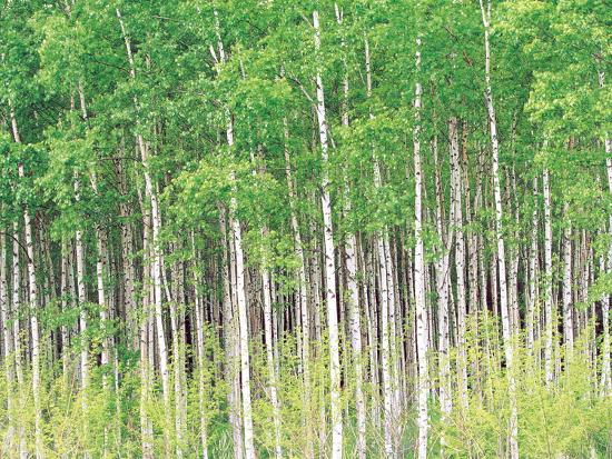 Aspen Trees, View From Below--Photographic Print