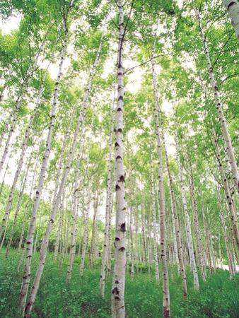 Aspen Trees, View From Below
