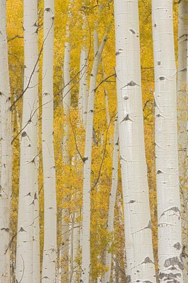 Aspen Trees, White River National Forest Colorado, USA-Charles Gurche-Photographic Print