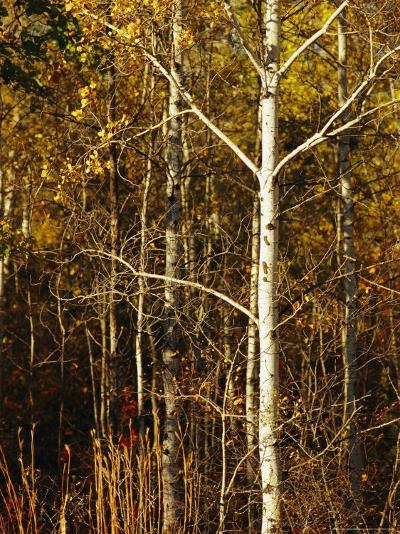 Aspen Trees with Autumn Foliage in Whiteshell Provincial Park-Raymond Gehman-Photographic Print