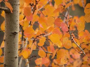 Aspen, with Stunning Red Autumn Foliage