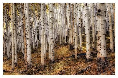 Aspen Woods-David Drost-Photographic Print