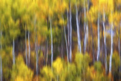 Aspens Alive-Darren White Photography-Photographic Print