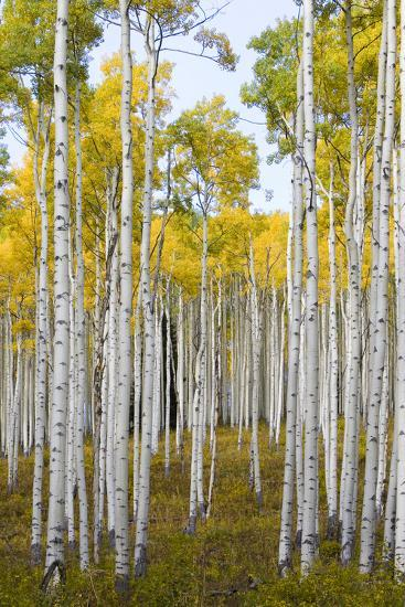 Aspens During Autumn Along The Road In Lime Park Colorado-Jay Goodrich-Photographic Print