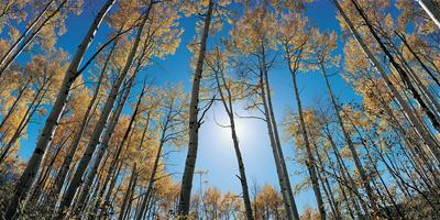 Aspens in Autumn with Colorful Leaves, Colorado--Photographic Print
