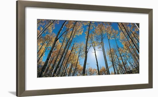 Aspens in Autumn with Colorful Leaves, Colorado--Framed Photographic Print