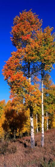 Aspens in Beautiful Autumn Color-Jeff Foott-Photographic Print