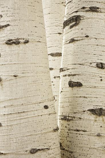 Aspens in Gunnison National Forest Colorado, USA-Charles Gurche-Photographic Print