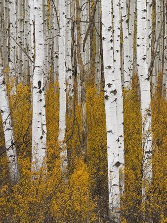 https://imgc.artprintimages.com/img/print/aspens-in-gunnison-national-forest-colorado-usa_u-l-pxr87w0.jpg?p=0