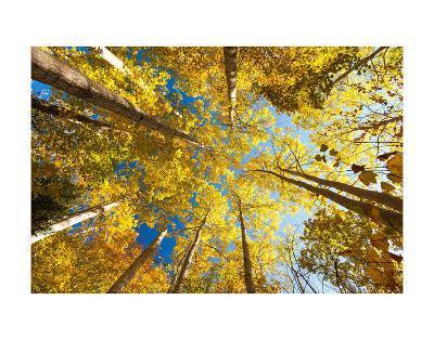 Aspens on the Canon Brook Trail-Michael Hudson-Art Print