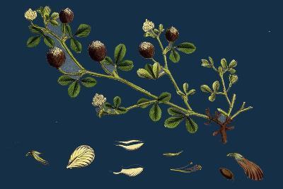 Asperula Odorata; Sweet Woodruff--Giclee Print
