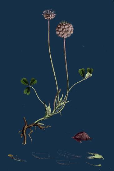 Asperula Taurina; Four-Leaved Woodruff--Giclee Print