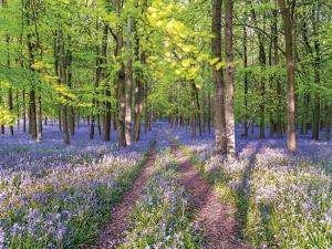 A Bluebell Path by Assaf Frank