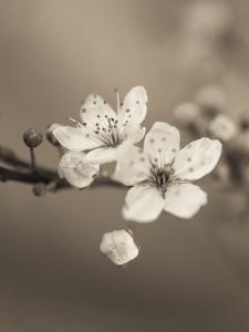 Blossom Duet by Assaf Frank