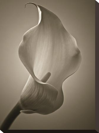 Calla Lily by Assaf Frank