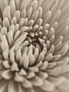 Chrysanthemum Flower by Assaf Frank