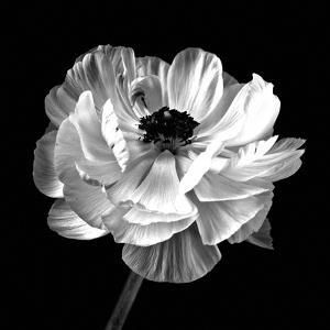 Ranunculus Floral - Noir by Assaf Frank