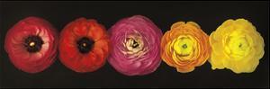 Ranunculus by Assaf Frank