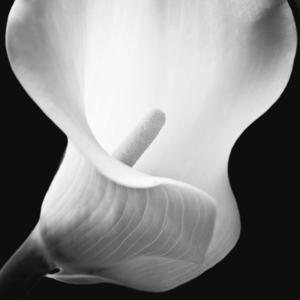 Beautiful flowers black and white photography artwork for sale softness i mightylinksfo
