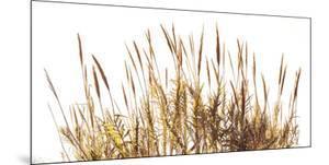 Sunny Reeds by Assaf Frank