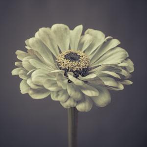 Zinnia Floral by Assaf Frank