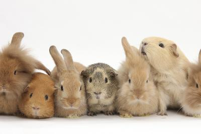 Assorted Sandy Rabbits and Guinea Pigs-Mark Taylor-Photographic Print