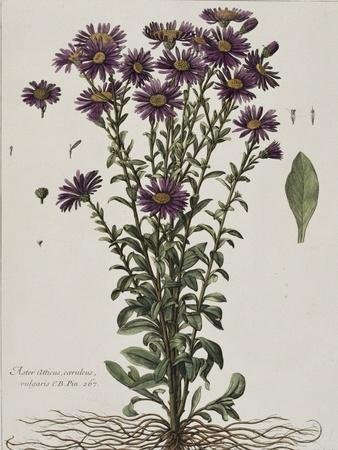 Aster à fleur mauve-Nicolas Robert-Giclee Print