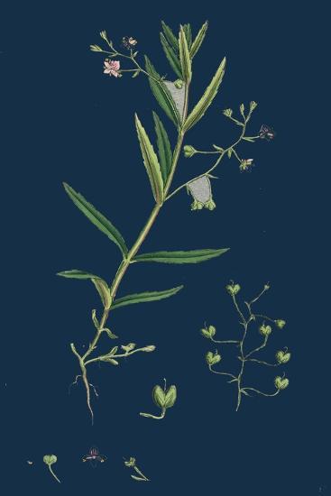 Aster Tripolium; Sea-Side Aster--Giclee Print