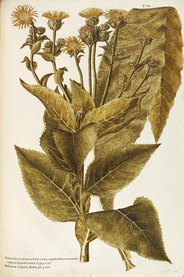 Asteraceae or Compositae--Giclee Print