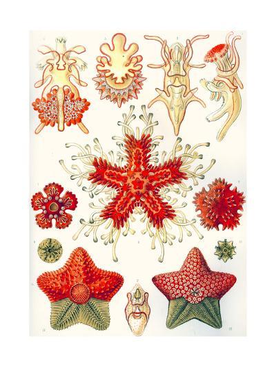 Asteridea 'Kunstformen Der Natur', 1899-Ernst Haeckel-Giclee Print