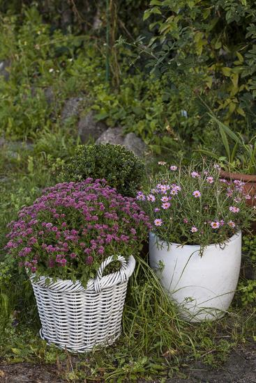 Asters in the Pot-Andrea Haase-Photographic Print