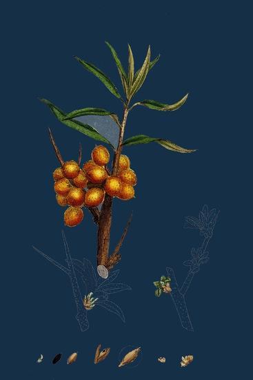 Astragalus Glycyphyllus; Sweet Milk-Vetch--Giclee Print
