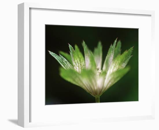 Astrantia Major, Close-up of Emerging Green Flower Head-Ruth Brown-Framed Photographic Print