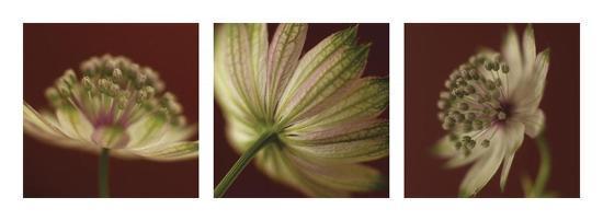 Astrantia on Red Triptych-June Hunter-Art Print